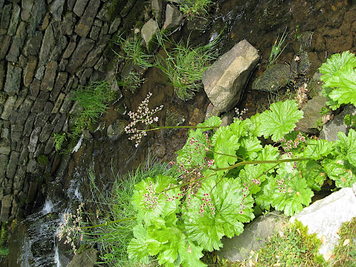 It prefers to grow along a streamside - here's proof!