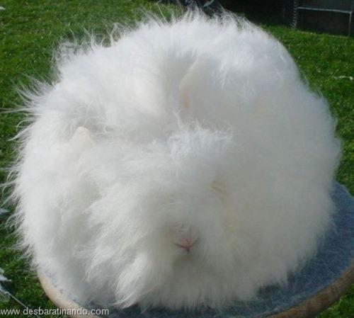coelho angora peludo desbaratinando (20)