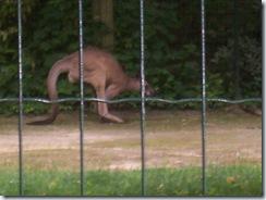 2008.05.26-020 kangourou géant