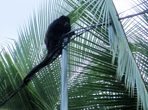 One of the loud howler monkeys near our hotel
