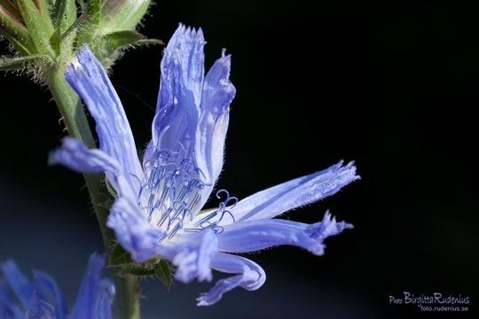 blom_20110807_cikoria