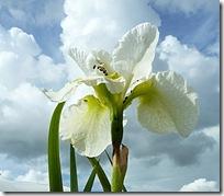 ms white iris