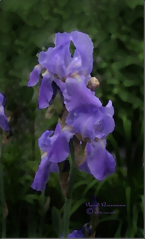 Bearded Iris Blue w Daubs