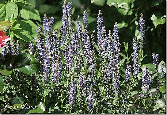 Salvia_Bluehill_May21