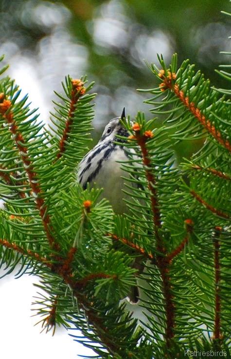 7. blackandwhite warbler-kab