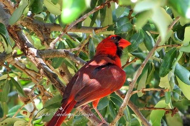 Male_Cardinal