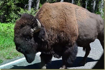 Bison on Road-4