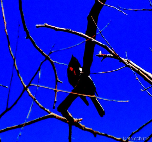 12. Painted redstart Mt. Ord-kab