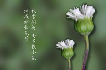 下田菊4-花朵.jpg