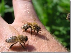 včely na květu a matečniky 141