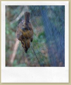 Patinho (Platyrinchus mystaceus) capturado na rede.