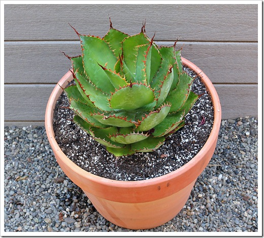 110806_Agave-bovicornuta_02