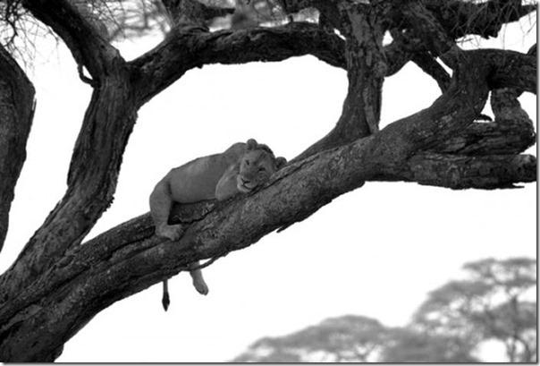 Fotos preto e branco de animais selvagens (7)