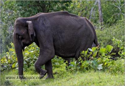 _P6A1745_wild_elephants_mudumalai_bandipur_sanctuary