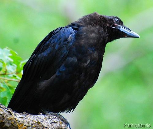 DSC_0006 Raven-kab