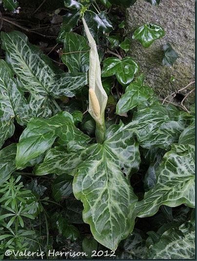 3 Arum-italicum