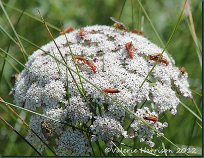 23-soldier-beetles