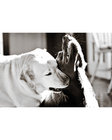 Brisbie and Brandy, Labrador retrievers from Tampa, Florida.
