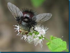 tachinid fly on catnip