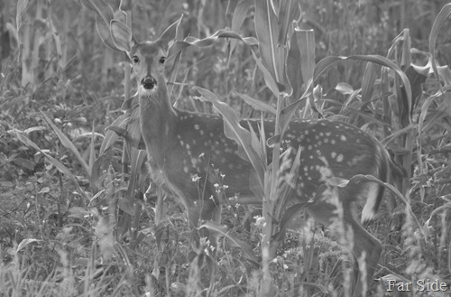 Corn Field Fawn Black and white