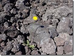 ハワイ島溶岩タンポポ
