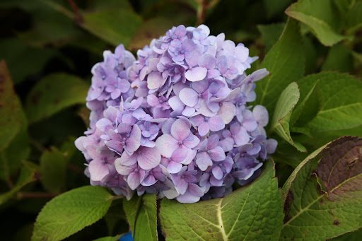 Did you know that the color of hydrangeas is determined by what's in the soil?  Acidic soil make them blue, neutral soil turns the petals an off-white color, and alkaline soil makes the this beautiful lilac or pink color.