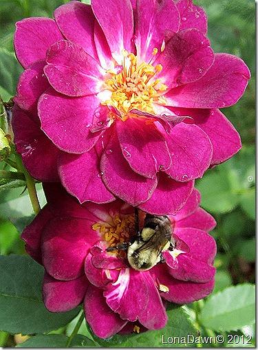 Rose_MidnigtBlue_Bee