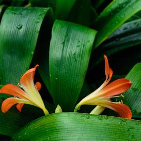 Two flowers by Aleksey Maksimov - Flowers Flower Gardens ( green leaves, red flowers, leaves, flowers )