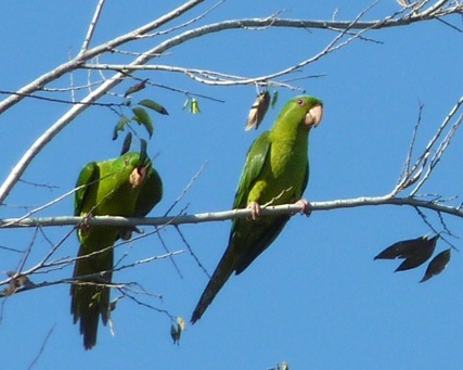 Green Parakeets Mission, Texas 8