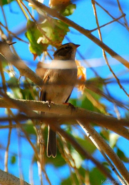 9. juv sparrow-kab