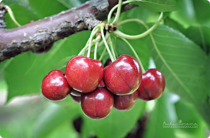 Red-cherries-(1)