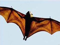 Voo de morcego pode ajudar a desenvolver aeronaves melhores (Foto: AFP Photo / via BBC)