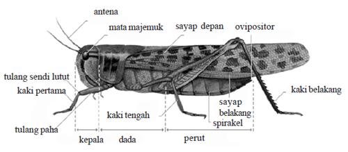 bagian tubuh belalang