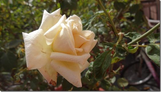 flor-flores-rosas-imagens180