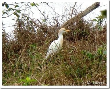 Garça-vaqueira (Bulbulcus ibis). Foto: M. Eiterer