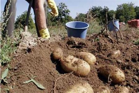 Ο περονόσπορος απειλεί την πατάτα. Τρόποι πρόληψης και αντιμετώπισης.