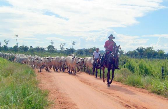 Troupeau de zébus. Colider (Mato Grosso, Brésil), 25 juin 2010. Photo : Cidinha Rissi