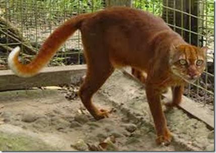 gato rojo de borneo