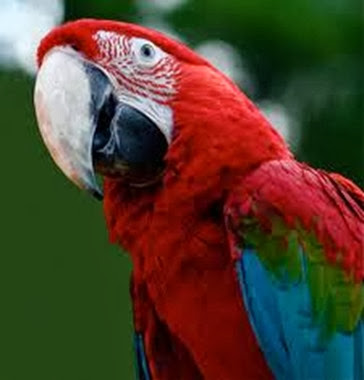 Amazing Pictures of Animals, Photo, Nature, Incredibel, Funny, Zoo, Red-and-green Macaw, ara chloropterus, Bird,  Alex.  (6)