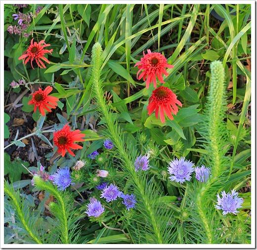120615_Echinacea-Hot-Papaya_01