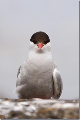 Farnes_Arctic_Terns-7