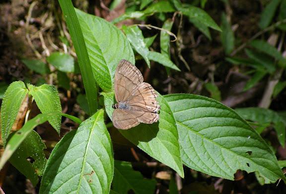 Probablement : Splendeuptychia doxes (GODART, [1824]). Ilha Grande (partie orientale), 18 février 2011. Photo : J.-M. Gayman