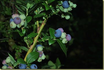 Summer House July 29  - Blueberries