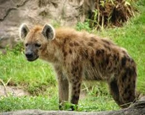Amazing Pictures of Animals, Photo, Nature, Incredibel, Funny, Zoo, Hyena, Mammals, Alex (11)