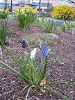 Aren't these three colors of grape hyacinth (muscari) more interesting than just one? A very simple, easy to do garden trick that has huge impact.