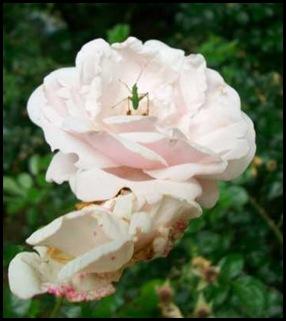 rose_51212