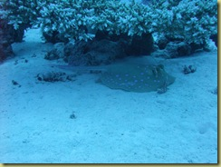 Blue Spotted Ray hiding