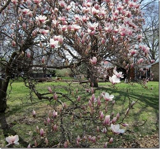tulip tree3