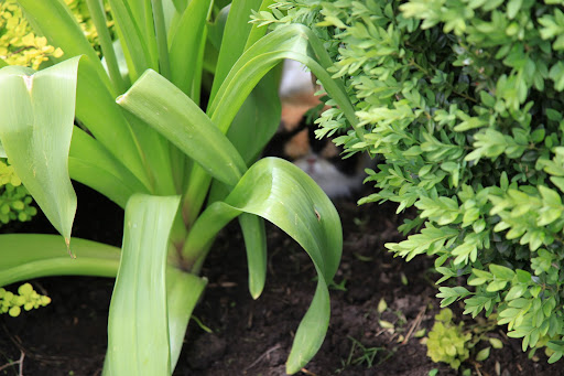 Between an allium and a boxwood.  Not a good hiding place.