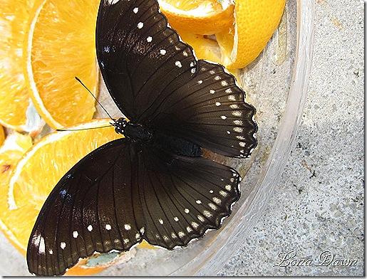 LG_BlackButterfly_Oranges